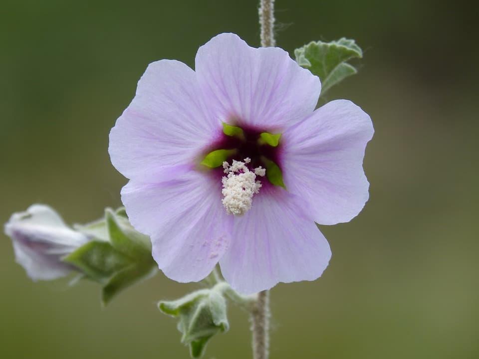 hibiscus syriacus 1410195 960 720