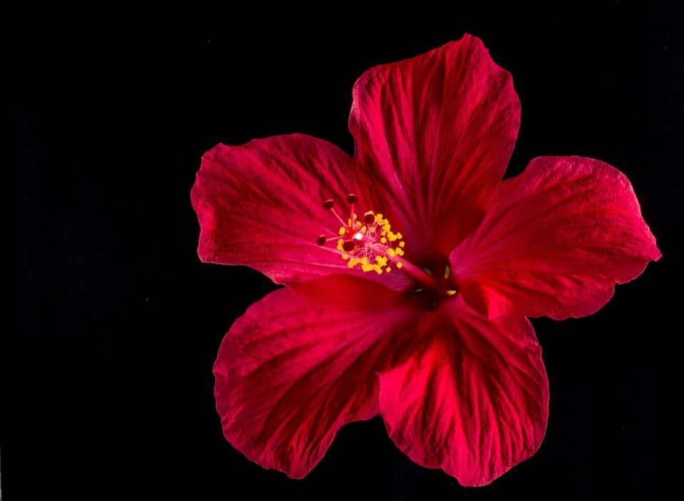 hibiscus 276496 960 720