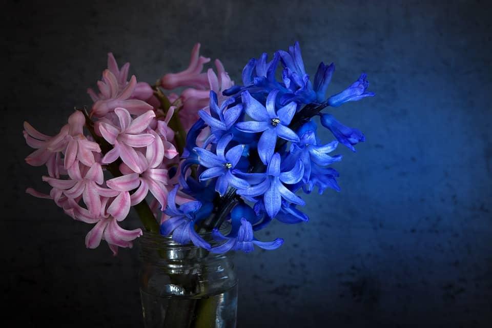 hyacinth 1396406 960 720