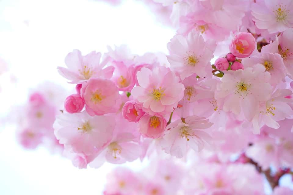 japanese cherry trees 324175 960 720