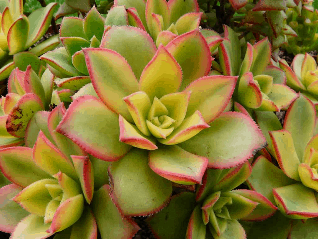 Kiwi Aeonium
