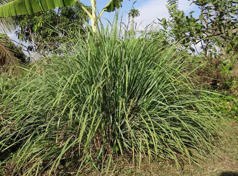lemograss