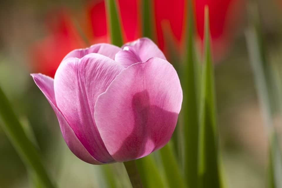 tulip 65789 960 720