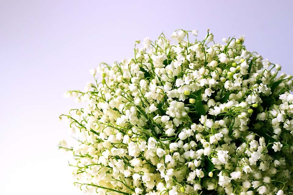 lily of the valley 1693516 960 720