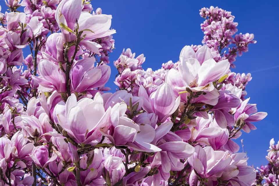 magnolia 2215760 960 720
