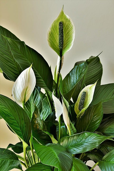 peace lilies 4269365 960 720