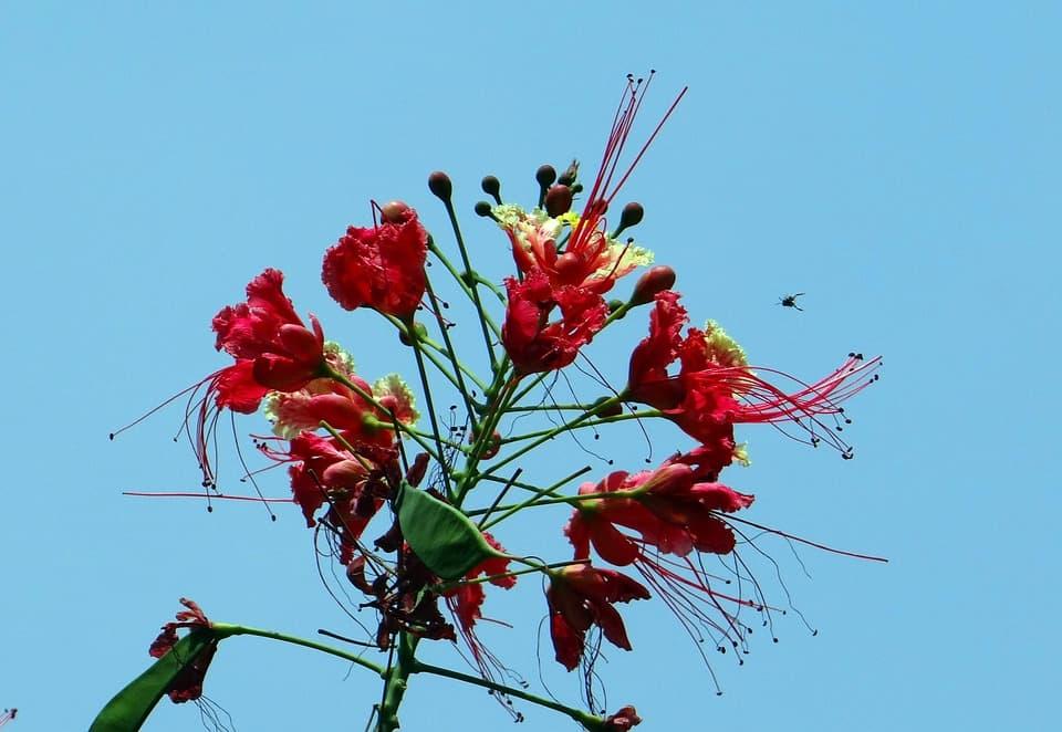 peacock flower 332298 960 720