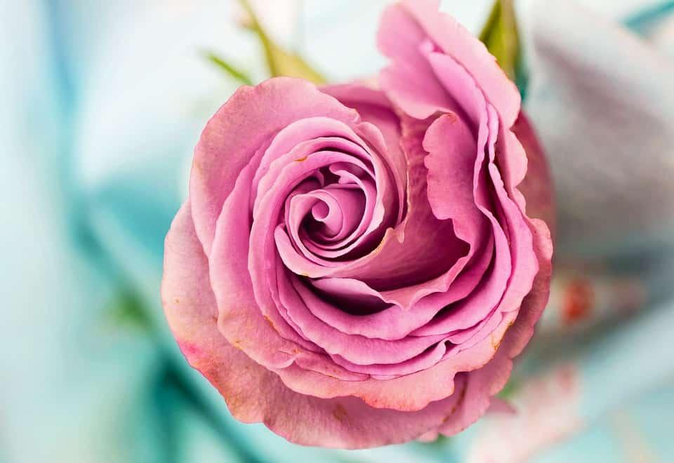 rose 3142529 960 720