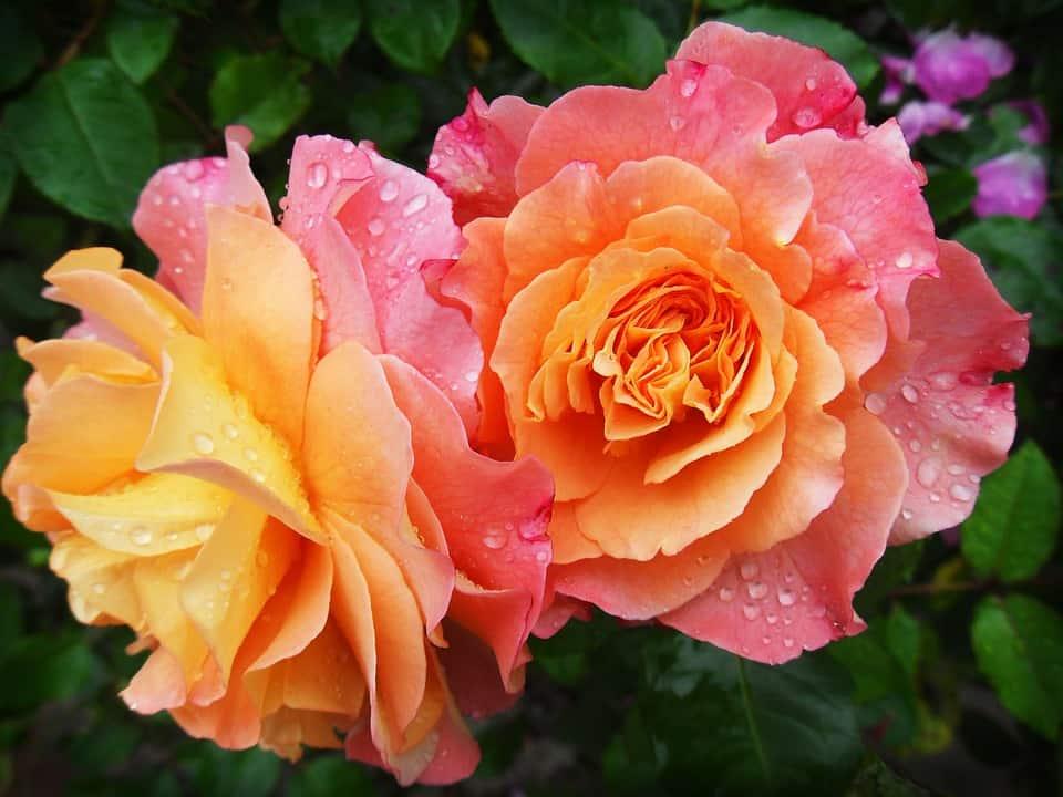 rose 174817 960 720