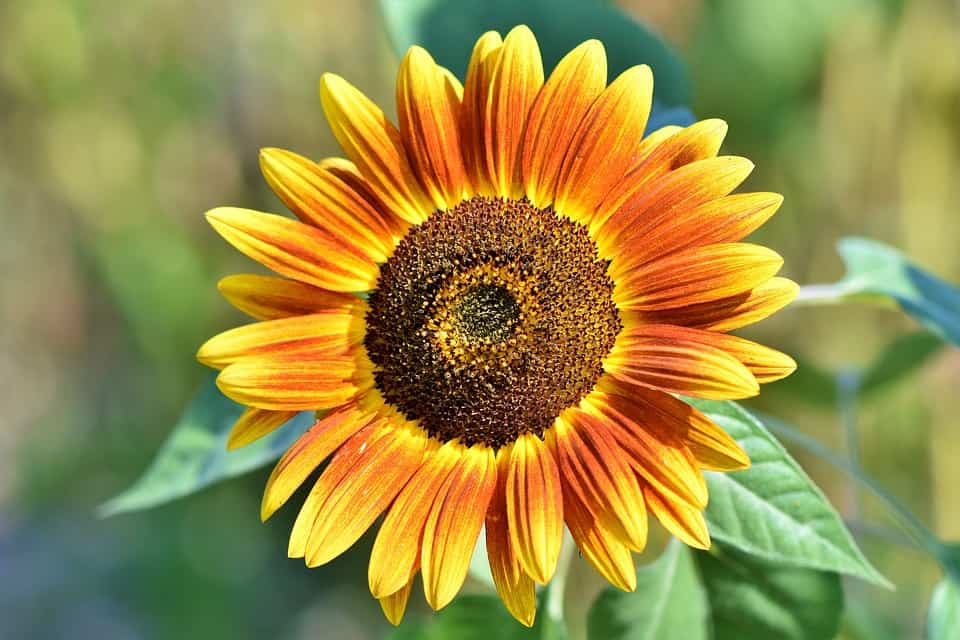 sunflower 3614728 960 720