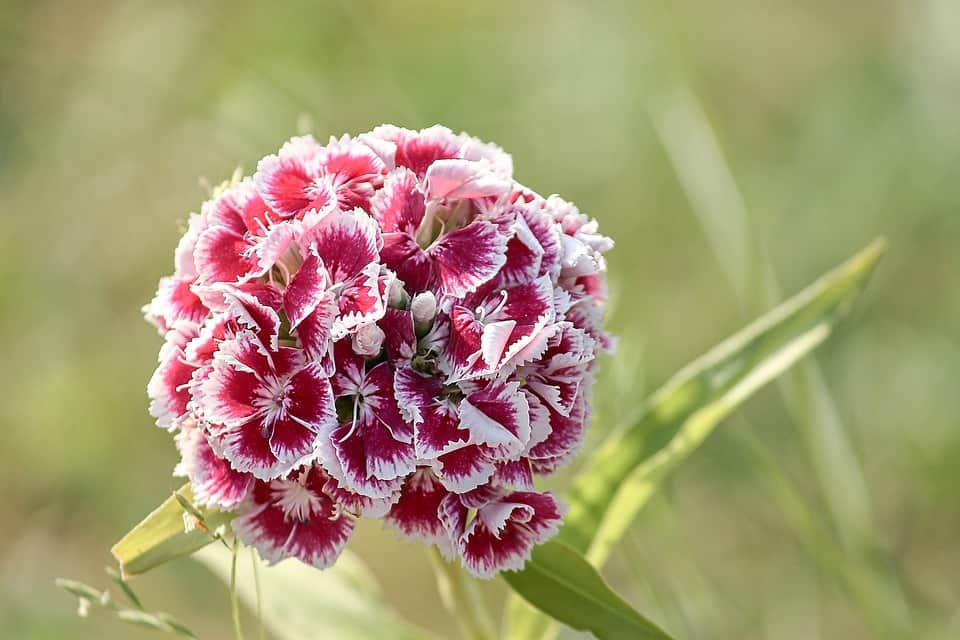 sweet william 3444994 960 720