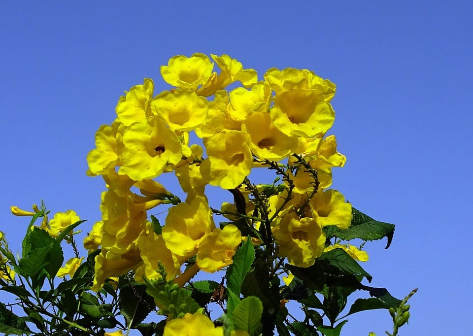Trumpetbush Flowers