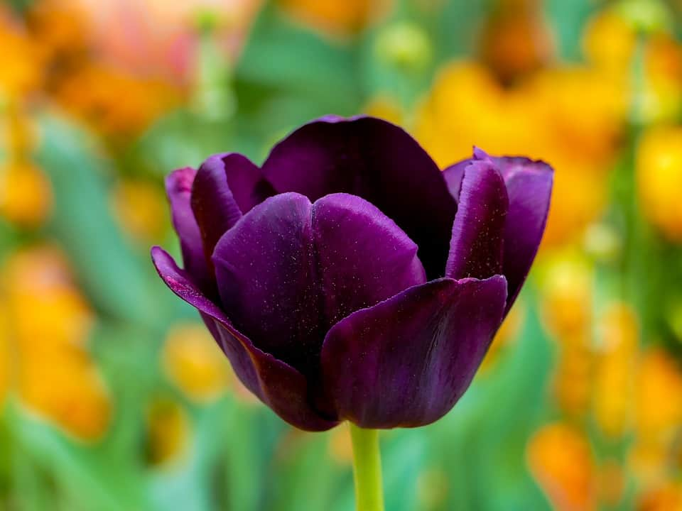 tulip purple 3360748 960 720