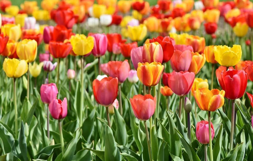 tulips 3359902 960 720
