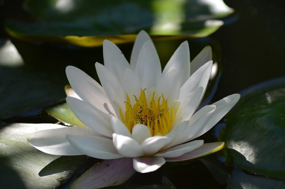 water lily 140727 960 720