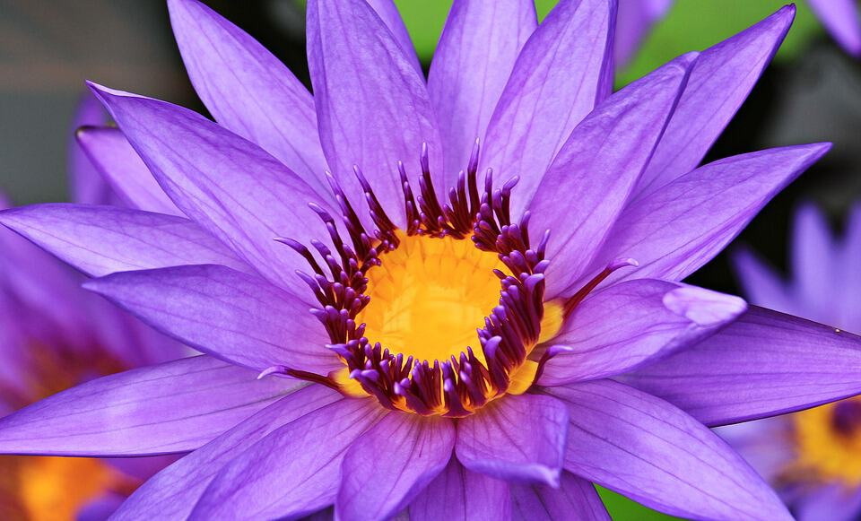 water lily 1540448 960 720