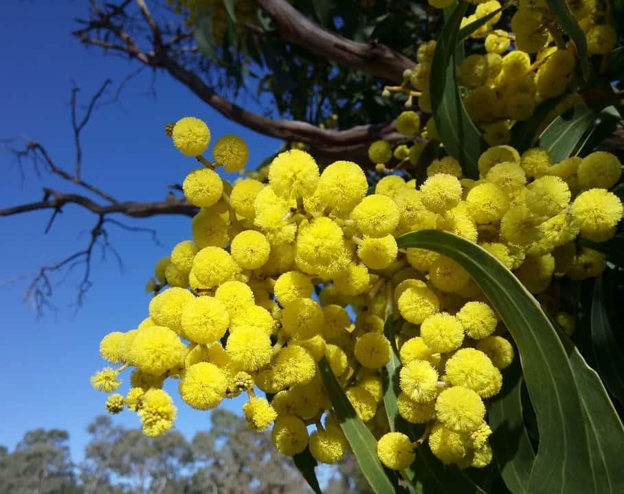 wattle blossoms 2642539 960 720