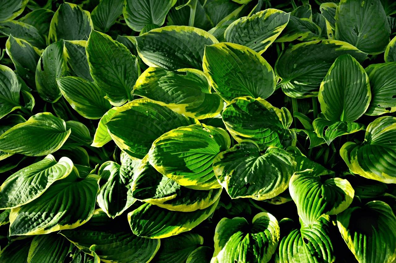 hosta - full shade perennials