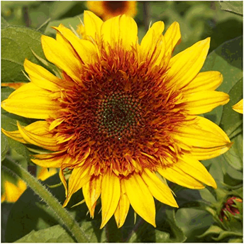 Sundance Kid Sunflower