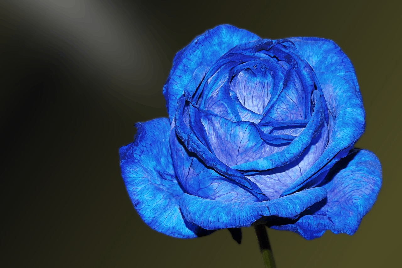 blue rose color meanings