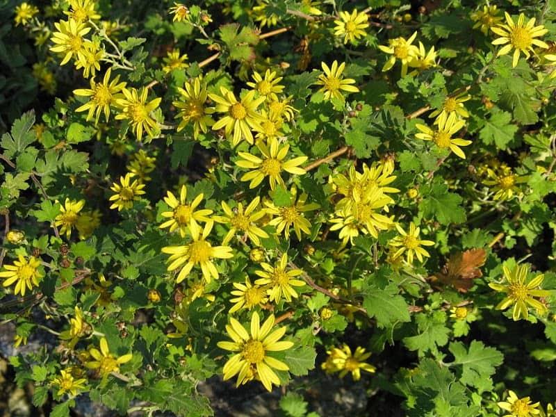 800px Chrysanthemum indicum1