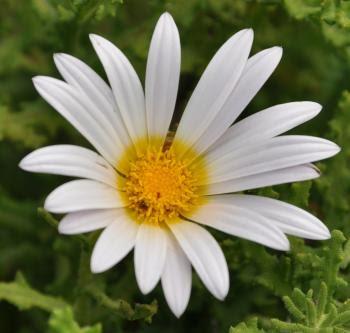 Arctotis aspera flw