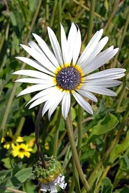 Arctotis grandis Blue eyed African daisy cu