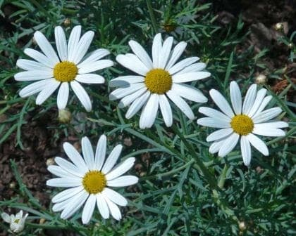 Canary Island Marguerite
