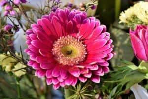 baberton daisy