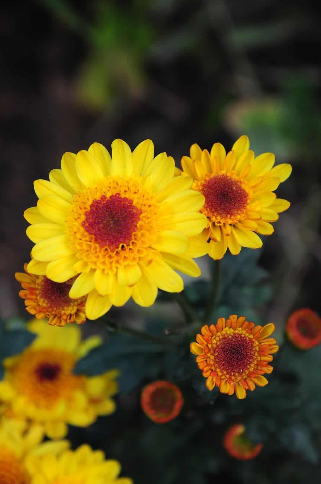 chrysanthemum morifolium 2508259 1920
