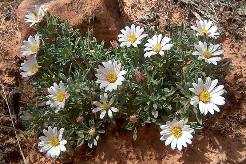 townsendia incana hoary ground daisy