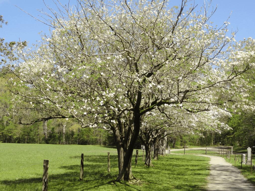 dogwood tree white