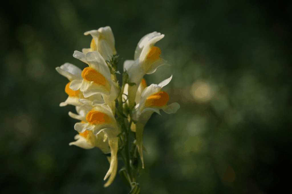 how to grow snapdragons