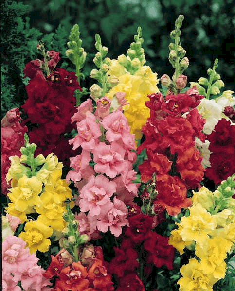 Madame Butterfly Snapdragon Flowers