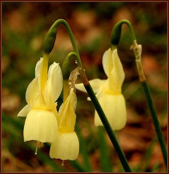 584px Narcissus triandrus 4