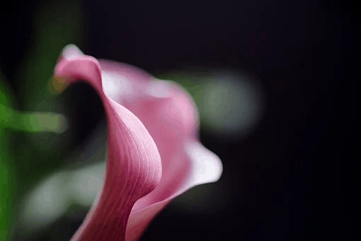 close up of a calla lily flower