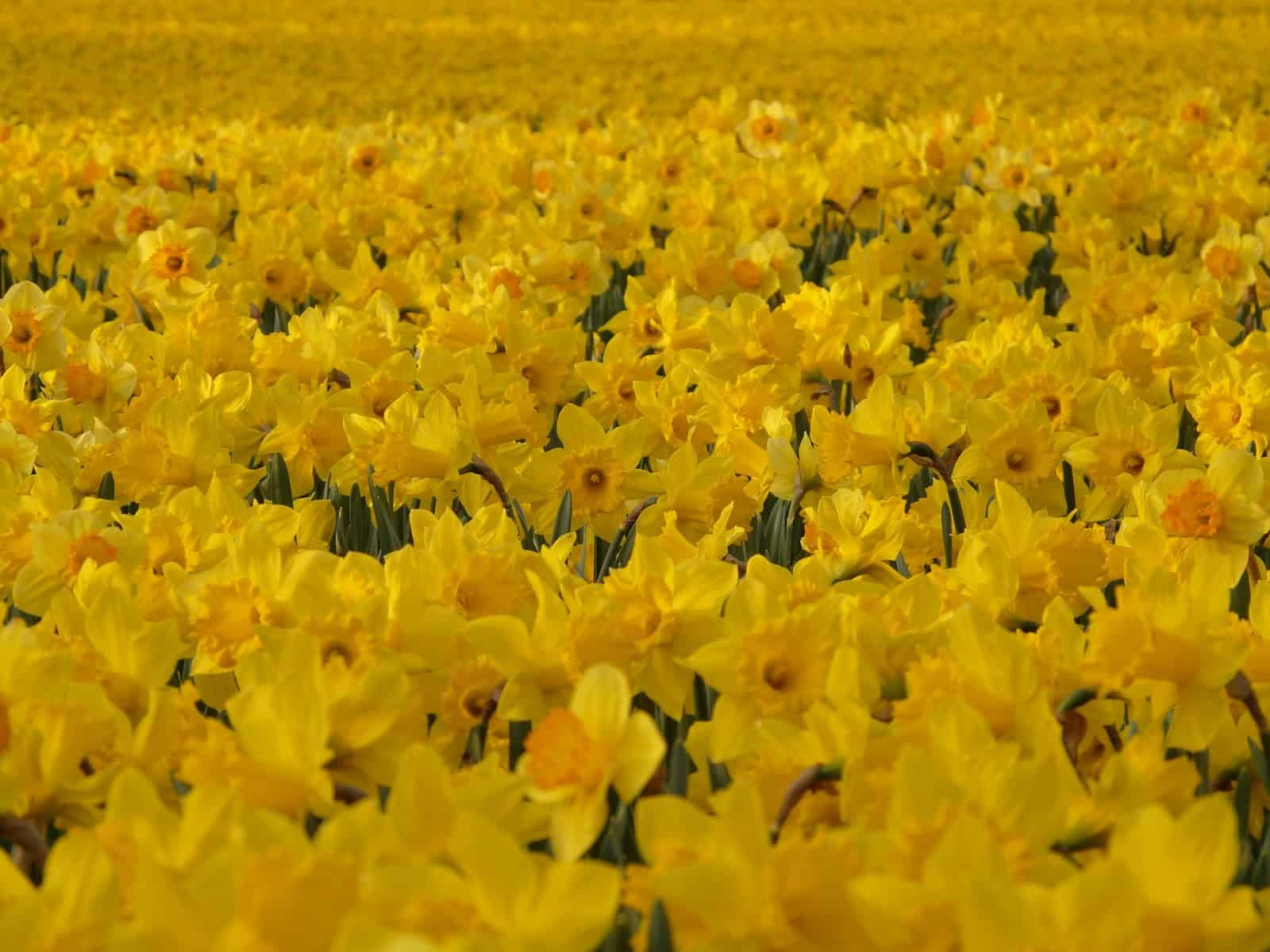 plant field meadow flower spring colorful yellow wildflower flowers bright daffodils narcissus macro photography flowering plant osterglocken daffodil field land plant 1156243