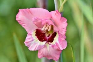 Pink gladiolus with red and white center