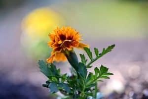 Orange marigold flower with full green leaves
