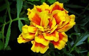 yellow and orange marigold flower