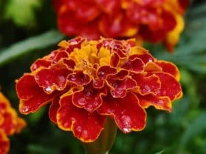 Red and orange marigold flower with dew on the petals