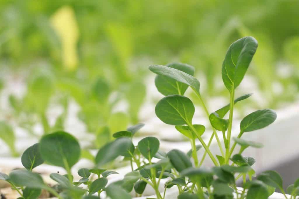 vegatable aeroponics