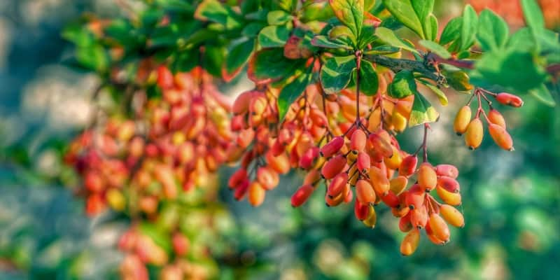 Barberry picture