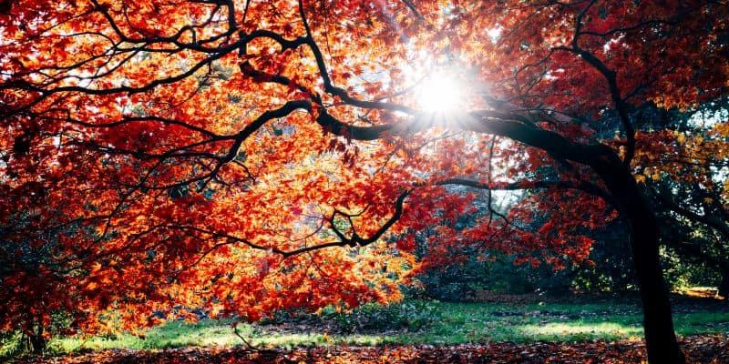 Japanese Maple growing