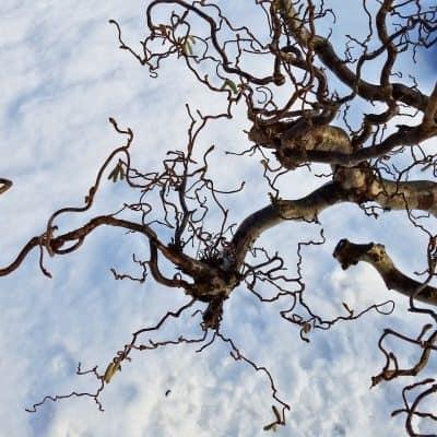 Salix Babylonica Tortuosa Sky