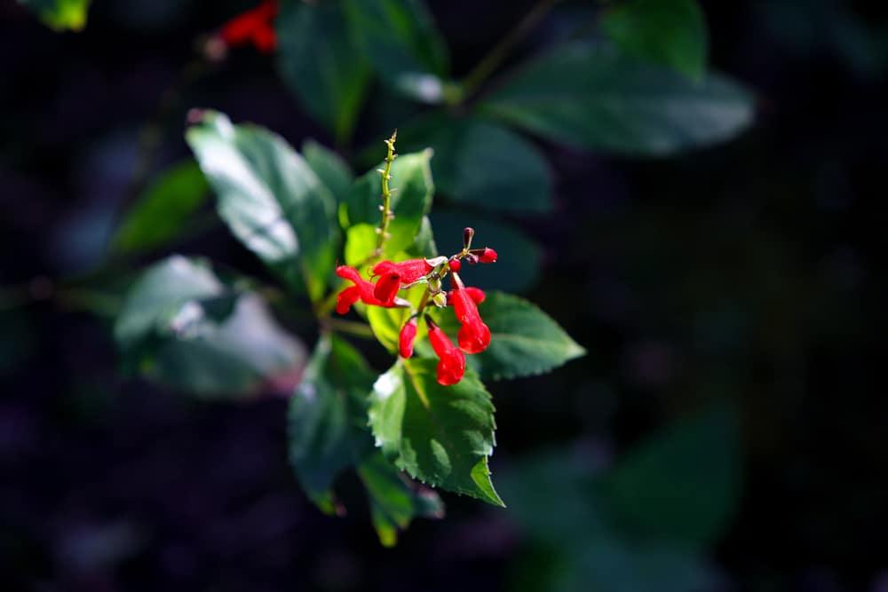 Belize Sage