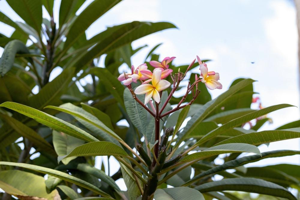 Mexican Frangipani