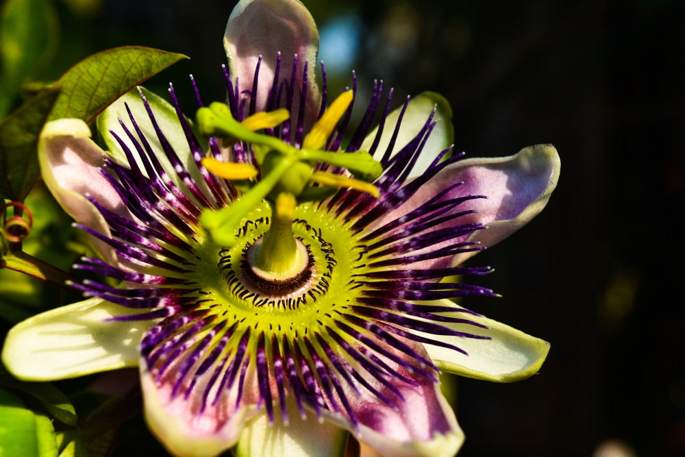 Mexican Passion Flower