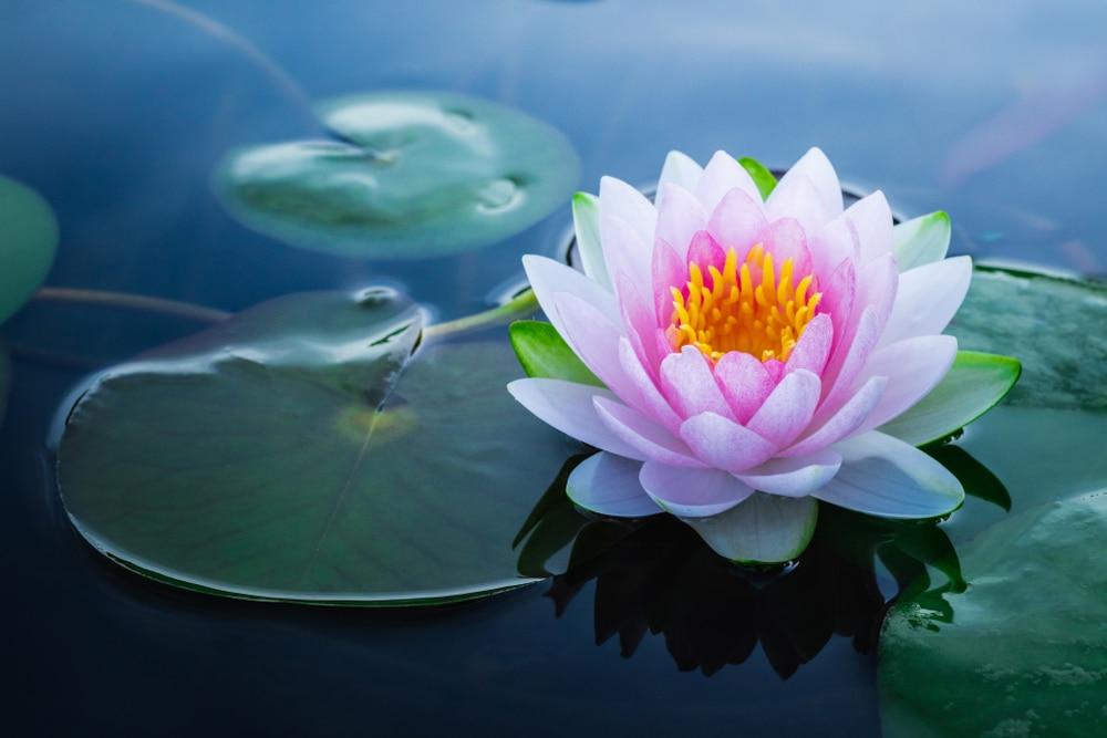 Nelumbo nucifera (lotus flower)