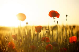 Poppy flower meaning and symbolism